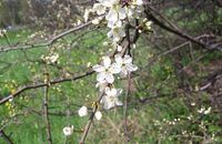 Homéopathie Prunus spinosa